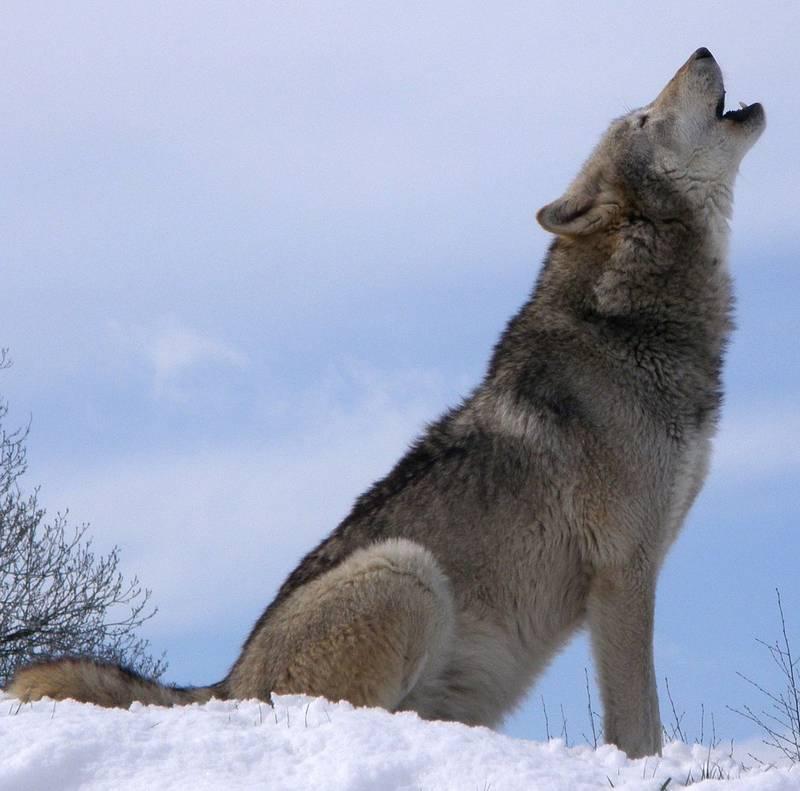 Воющий волк фото