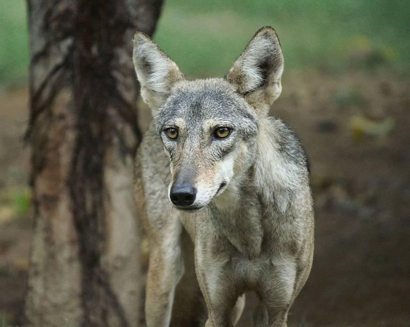 Глаза волка фото