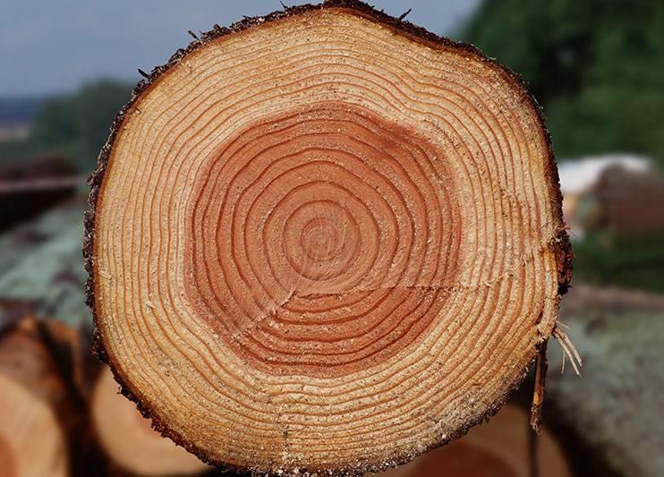 Годичные кольца на поперечном срезе ствола ангарской сосны