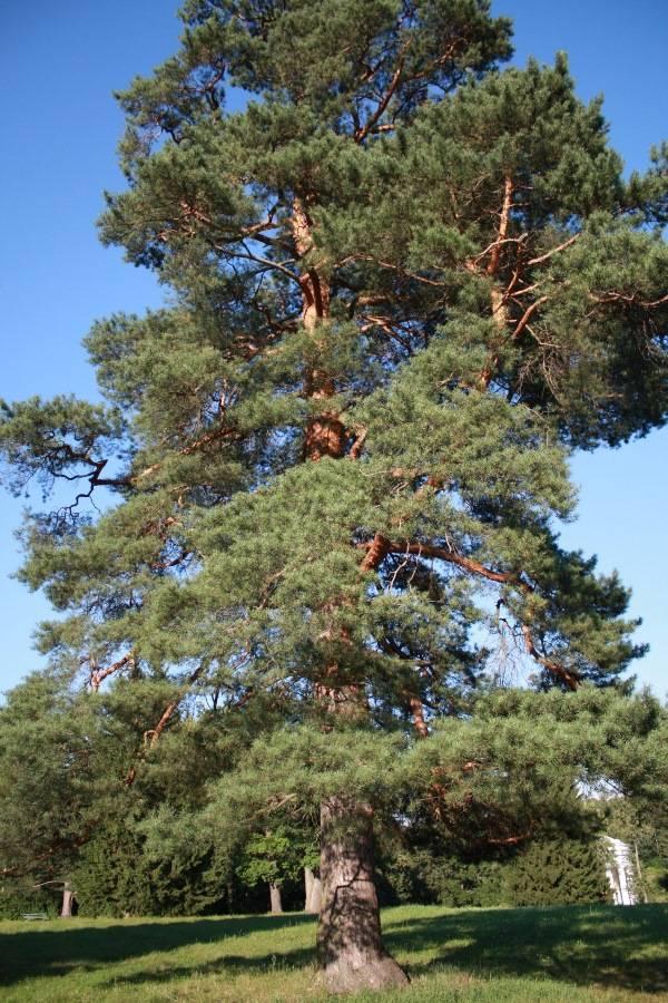 Дерево сосна фото