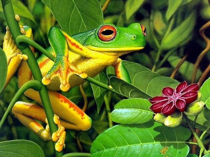Желто-зеленая лягушка фото