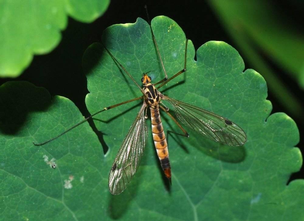 Комар долгоножка (карамора)