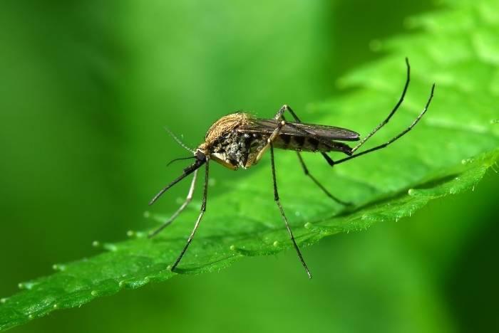 Комар фото