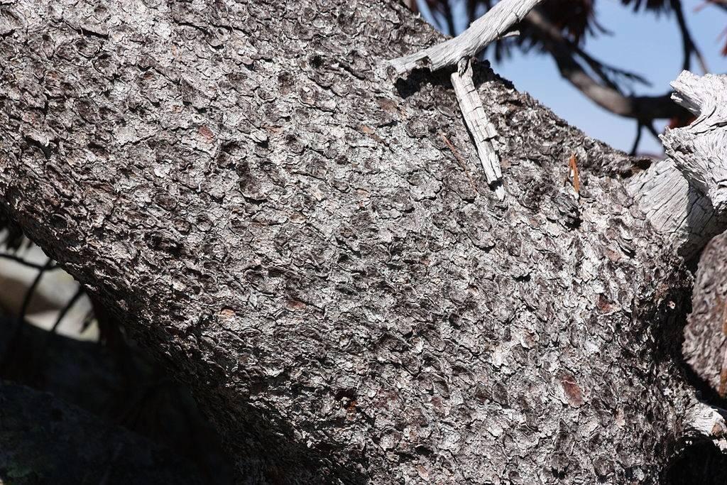 Кора белоствольной сосны фото