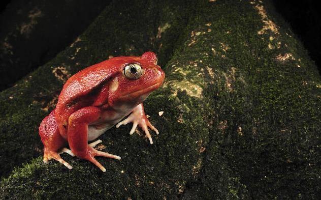Красная лягушка фото