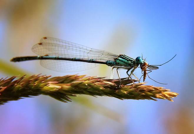 Кто питается комарами и личинками комаров