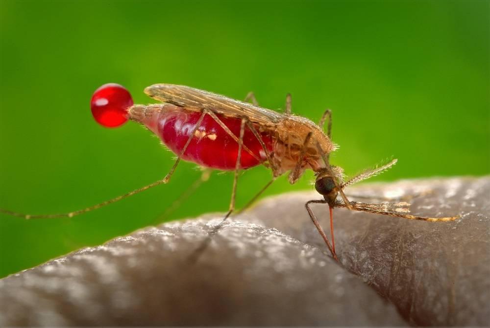 Малярийный комар (анофелес)
