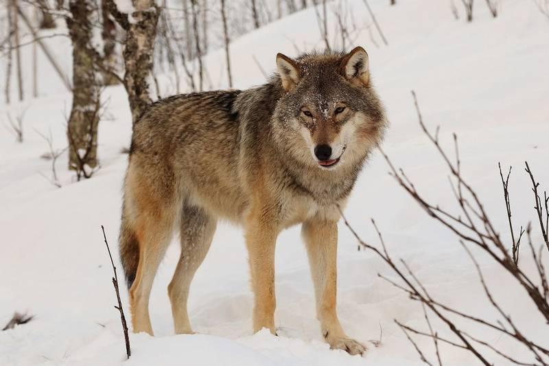 Обыкновенный волк (серый волк) фото (лат. Canis lupus)
