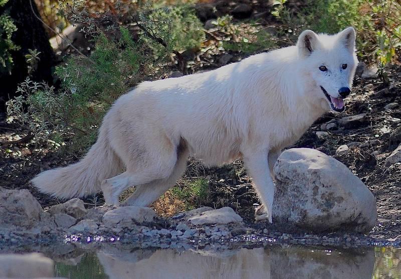 Полярный волк фото (лат. Canis lupus tundrarum)