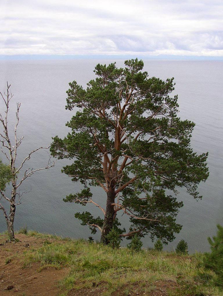 Сосна обыкновенная фото (лат. Pinus sylvestris)