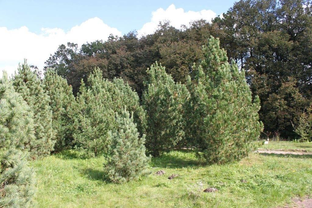 Сосна сибирская кедровая (сибирский кедр) фото (лат. Pinus sibirica)