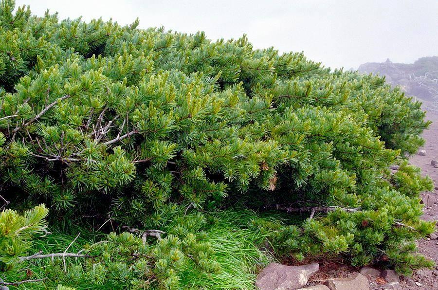 Сосна стланиковая, кедровый стланик (лат. Pinus pumila)