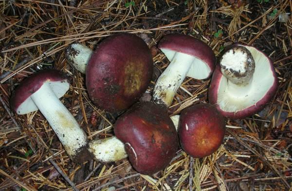 Сыроежка буреющая (ароматная, пурпурная, селедочная) фото (лат. Russula xerampelina)
