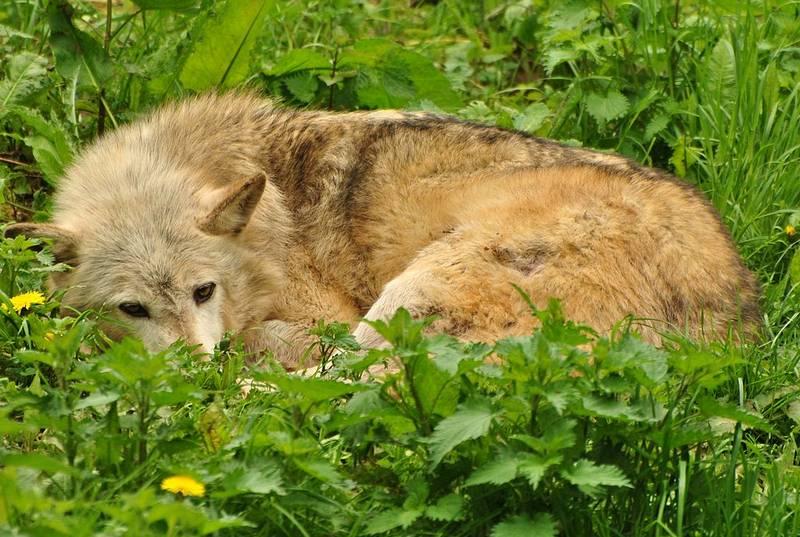 Шерсть волка фото