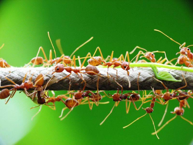 Азиатские муравьи портные (лат. Oecophylla smaragdina)