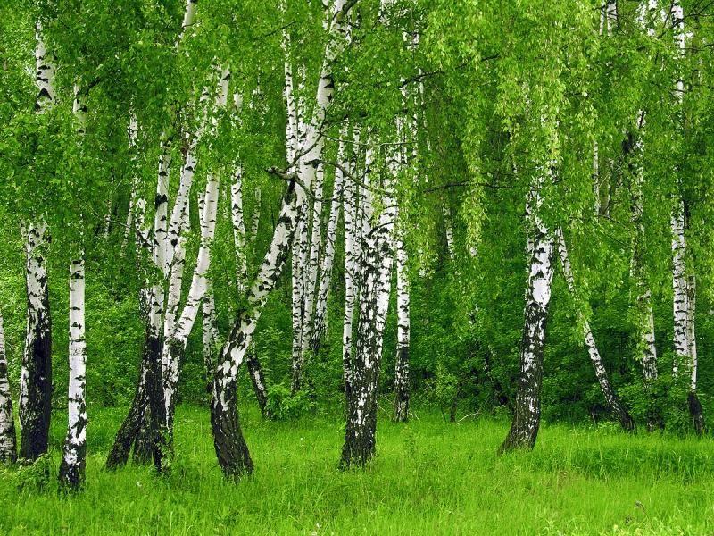 Березовый лес фото