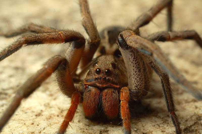 Большой паук фото