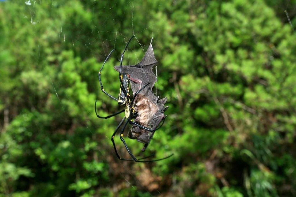 Добыча паука – летучая мышь