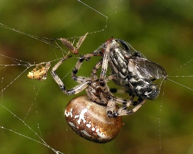 Добыча паука