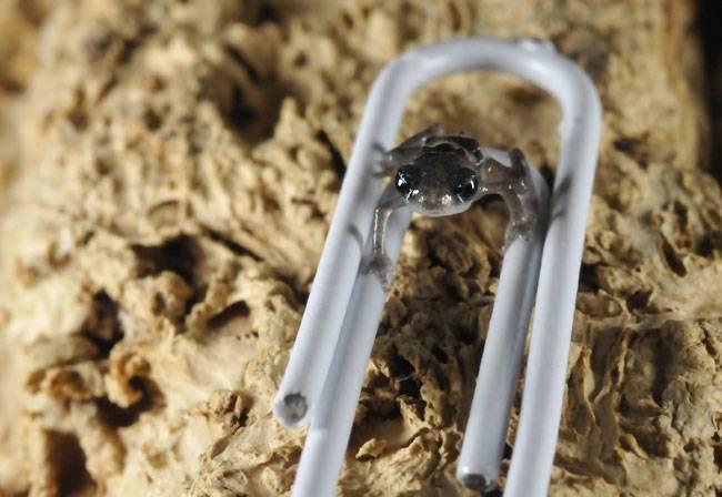Жаба-брызгун Киханси – самая маленькая жаба в мире