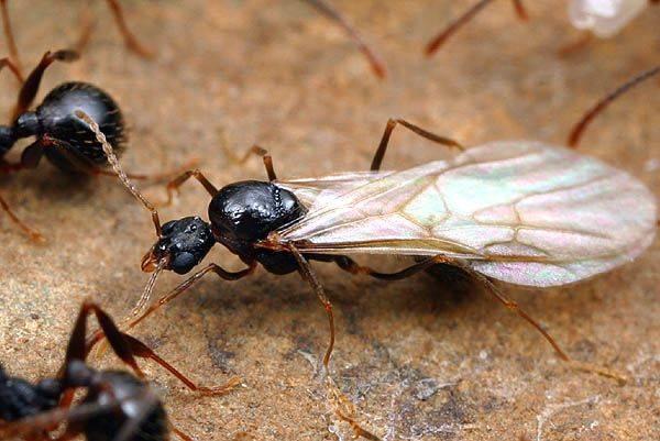 Матка муравьев (самка) фото