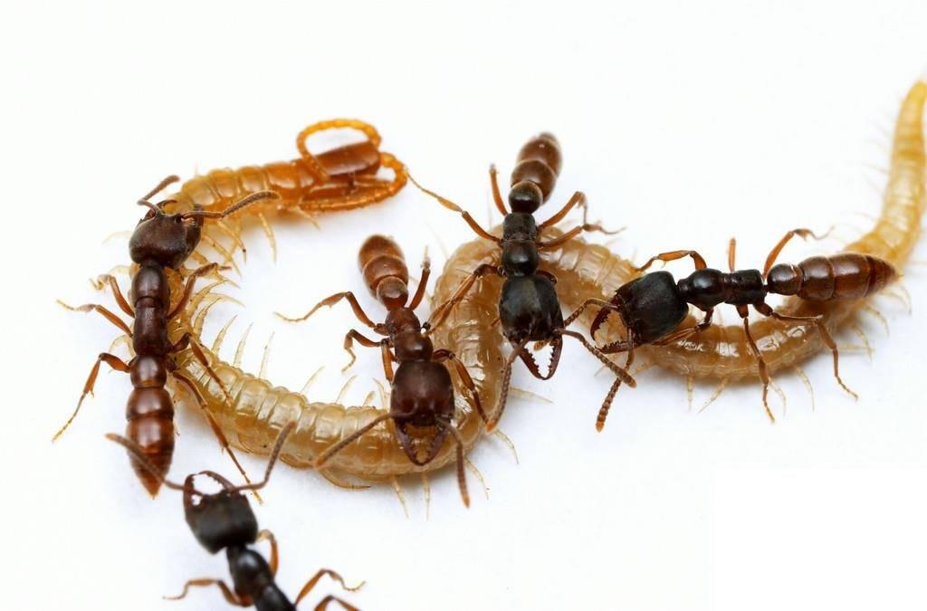 Муравьи едят насекомых