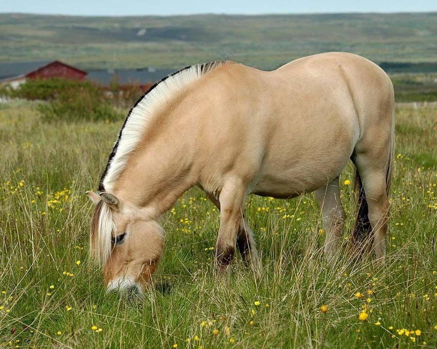 Норвежская фьордская лошадь фото