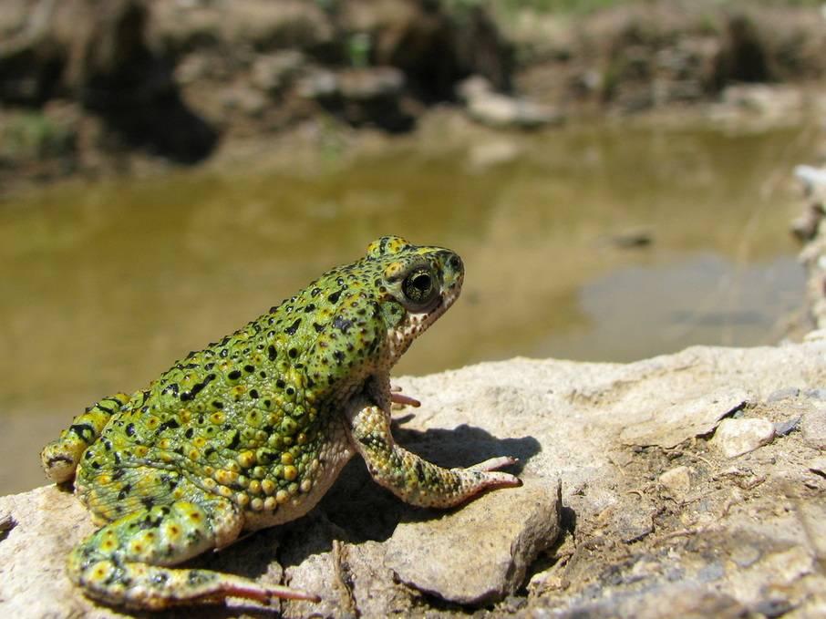 Сверчковая жаба Anaxyrus debilis