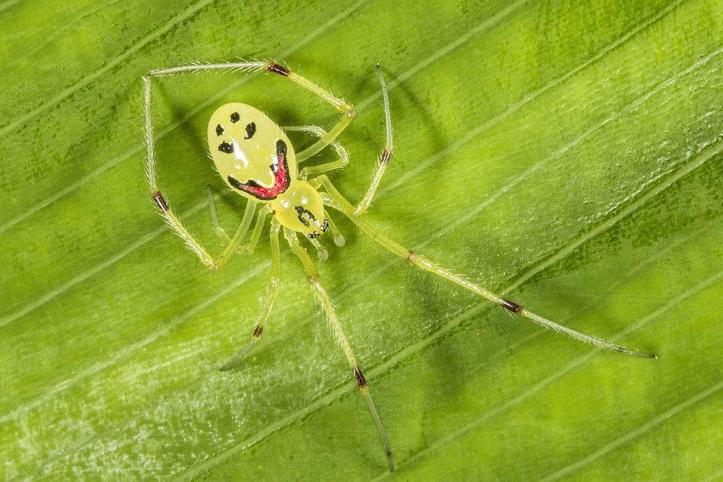 Улыбающийся паук (лат. Theridion grallator)