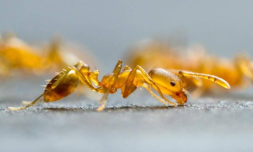 Фараонов муравей (домовый, корабельный) (лат. Monomorium pharaonis)