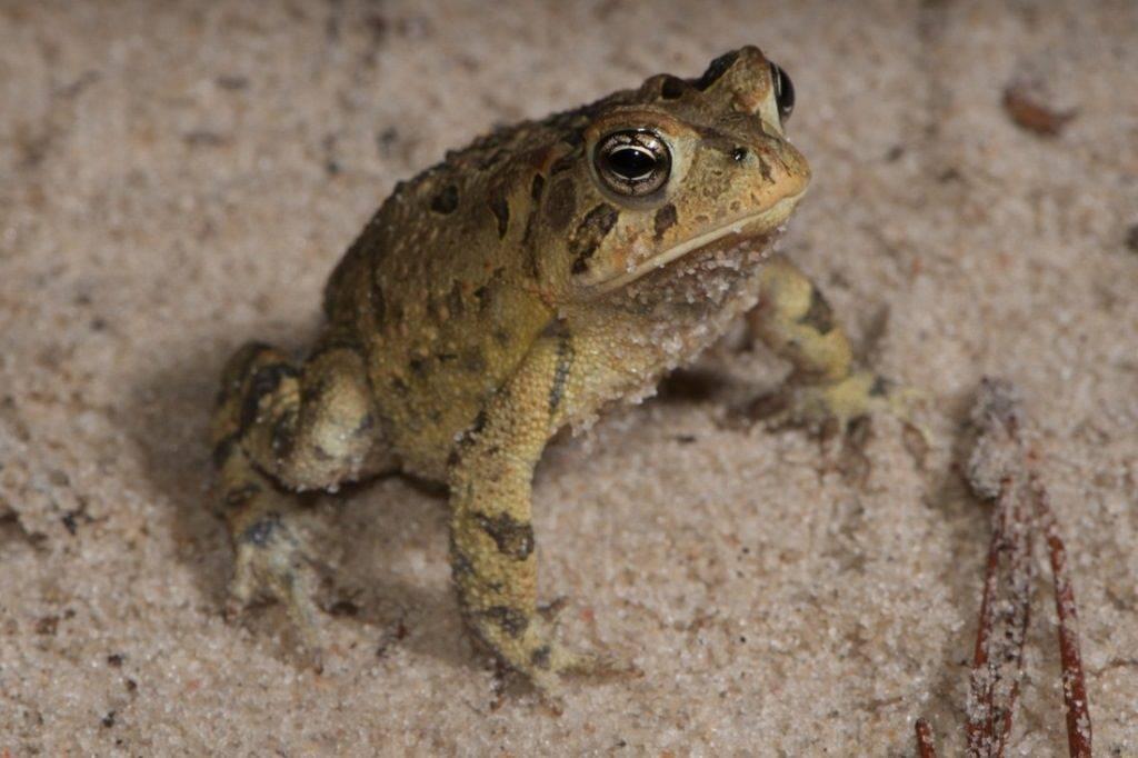 Шишкоголовая жаба Anaxyrus terrestris
