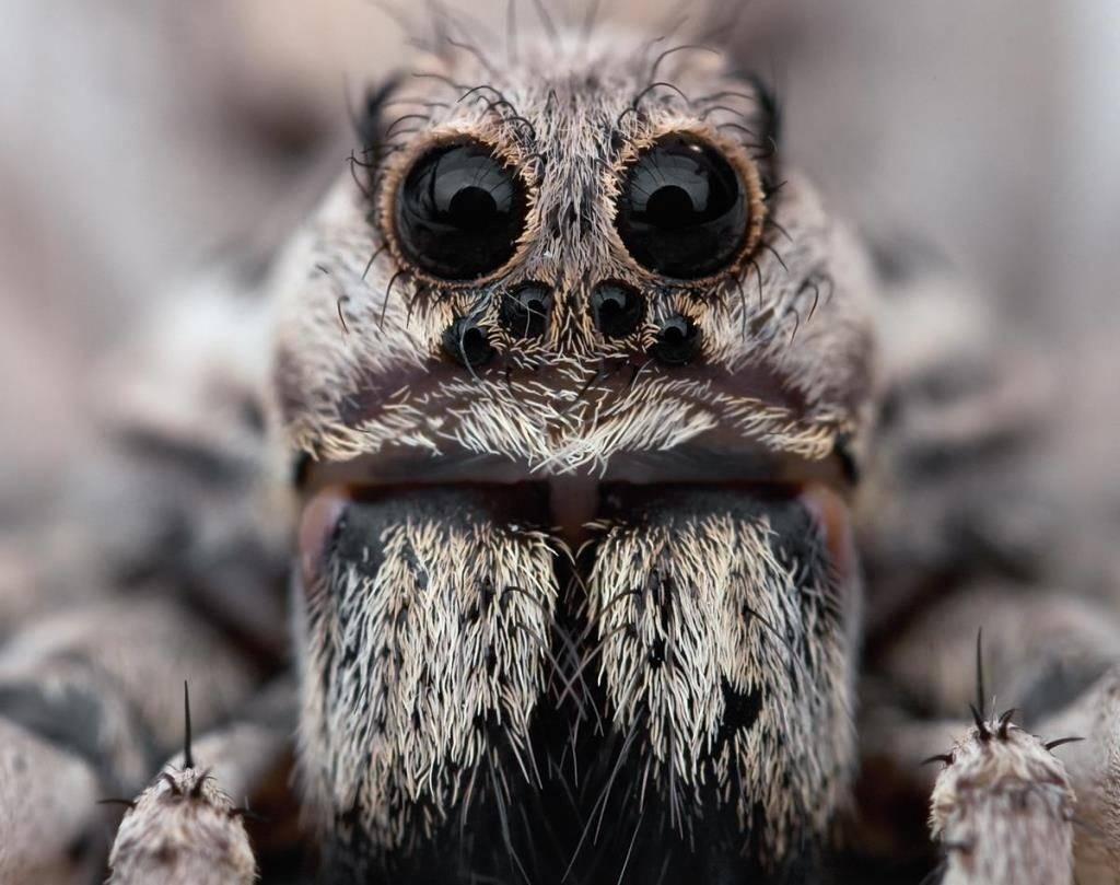 Апулийский тарантул (лат. Lycosa tarantula)