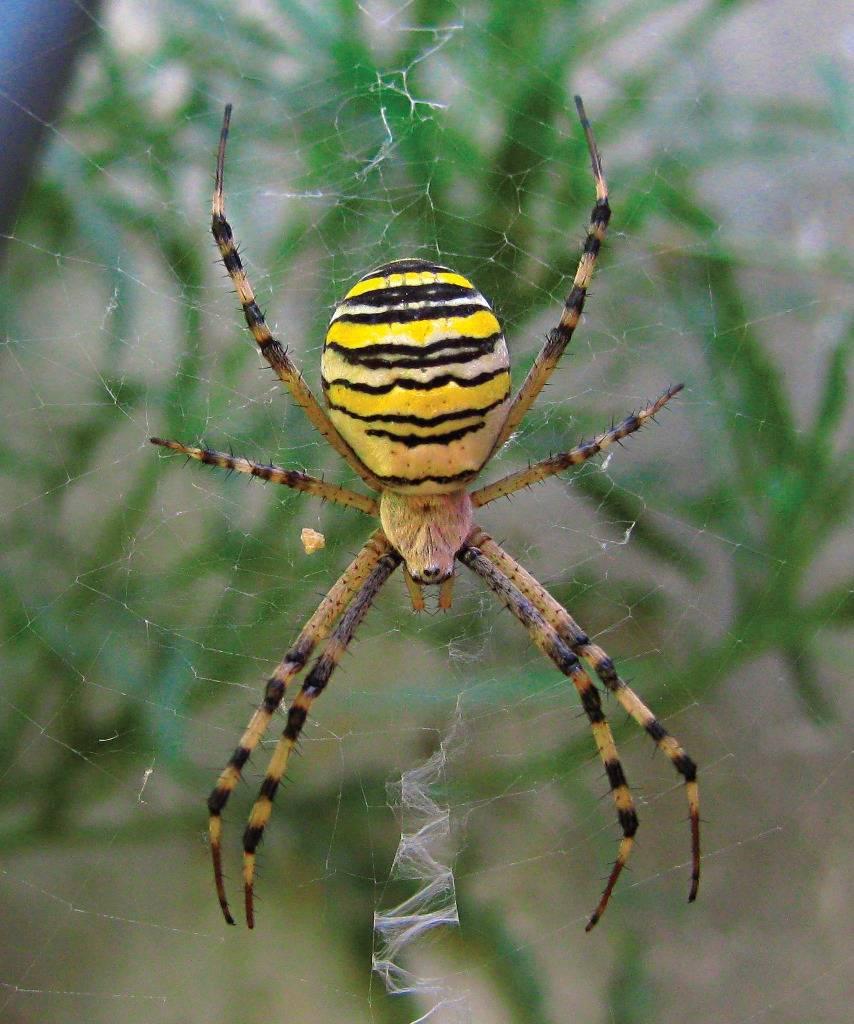 паук голова брюшко