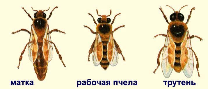 Виды пчел фото