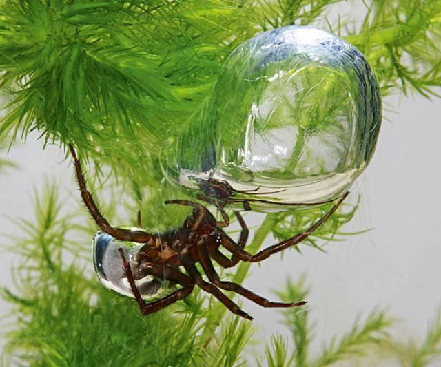 Водяной паук Argyroneta aquatica строит гнездо