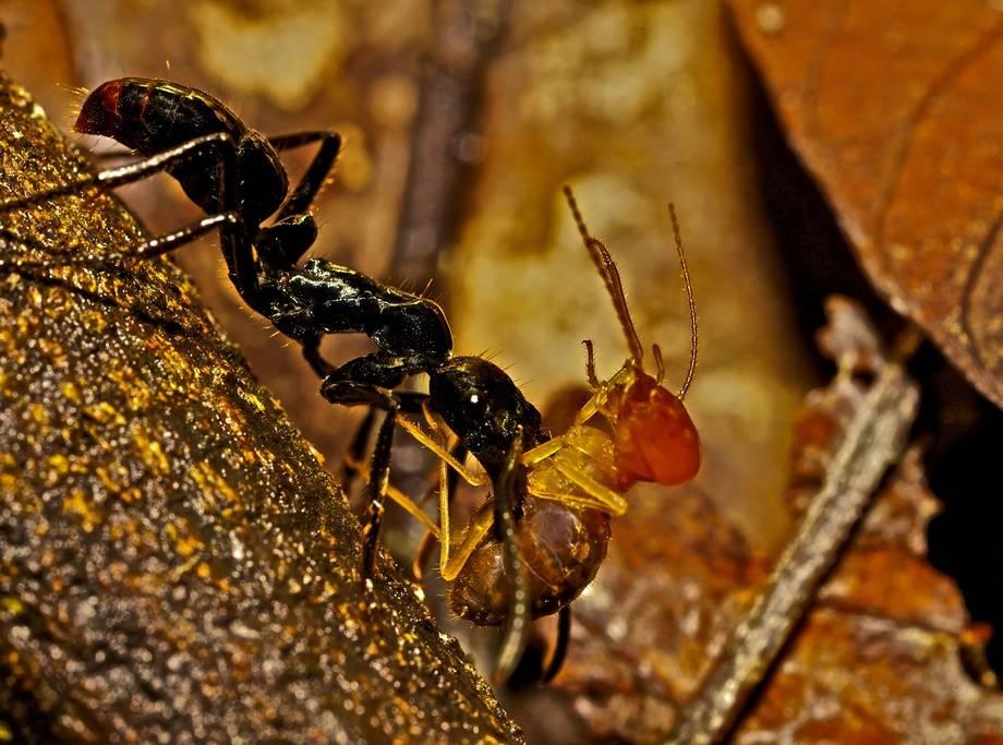 Динопонера гигантская (гигантский муравей) (лат. Dinoponera gigantea)