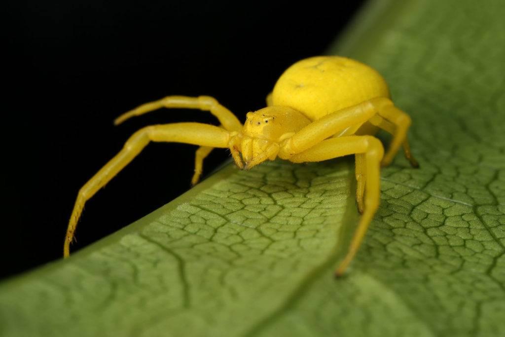 Желтый цветочный паук