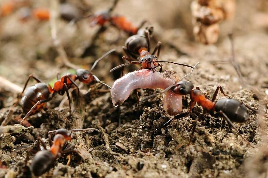 Лесные муравьи фото (лат. Formica polyctena)
