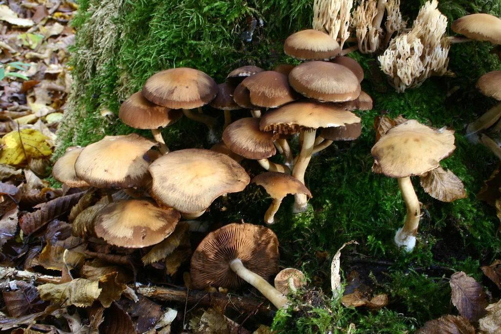 Опята лесные осенние фото и описание