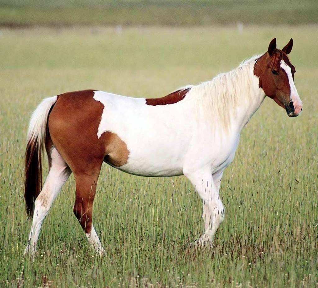 Лошадь породы Пинто фото