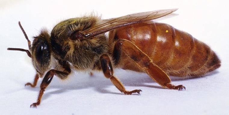 Матка пчелы фото