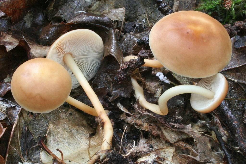 Опенок весенний (коллибия лесолюбивая) (лат. Gymnopus dryophilus)