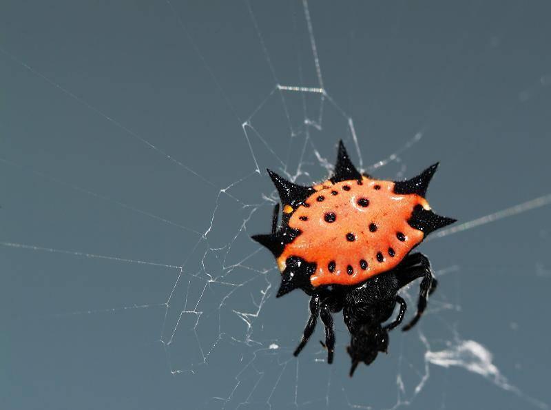 Оранжевый шипастый паук