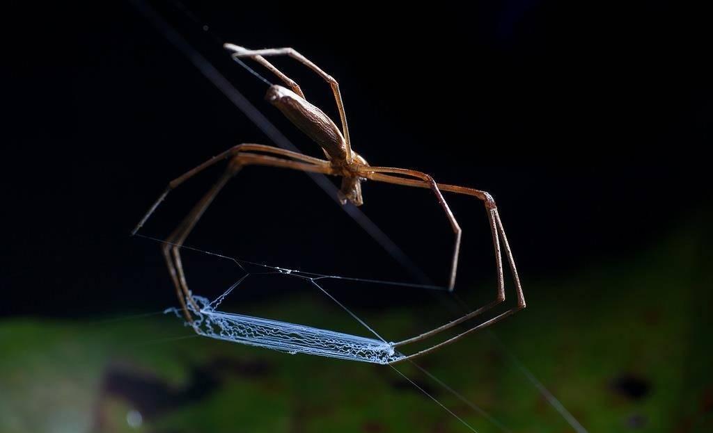 Паук-гладиатор Deinopis subrufa