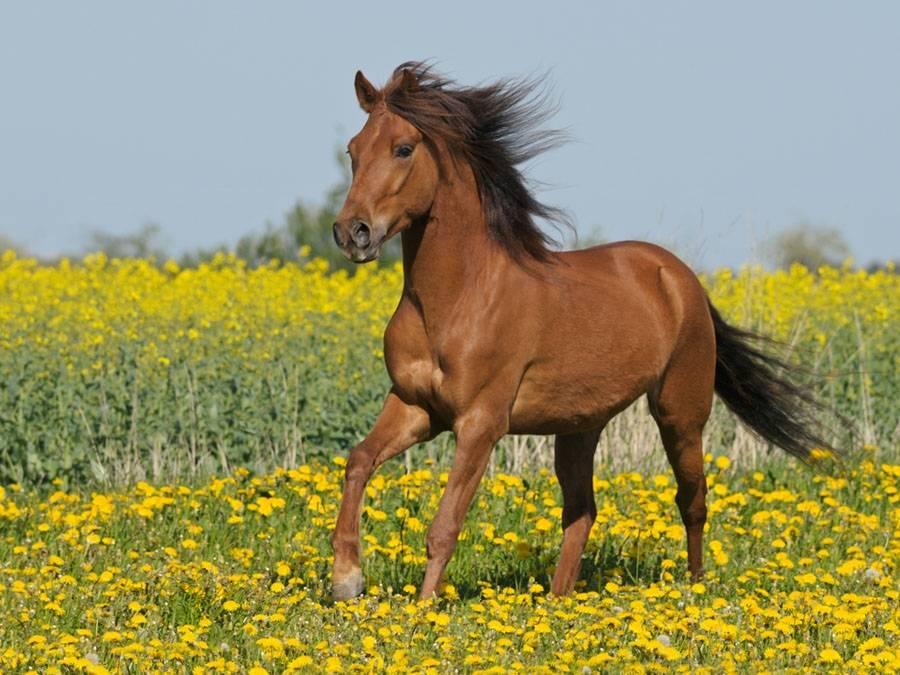 Порода лошади Пасо Фино фото