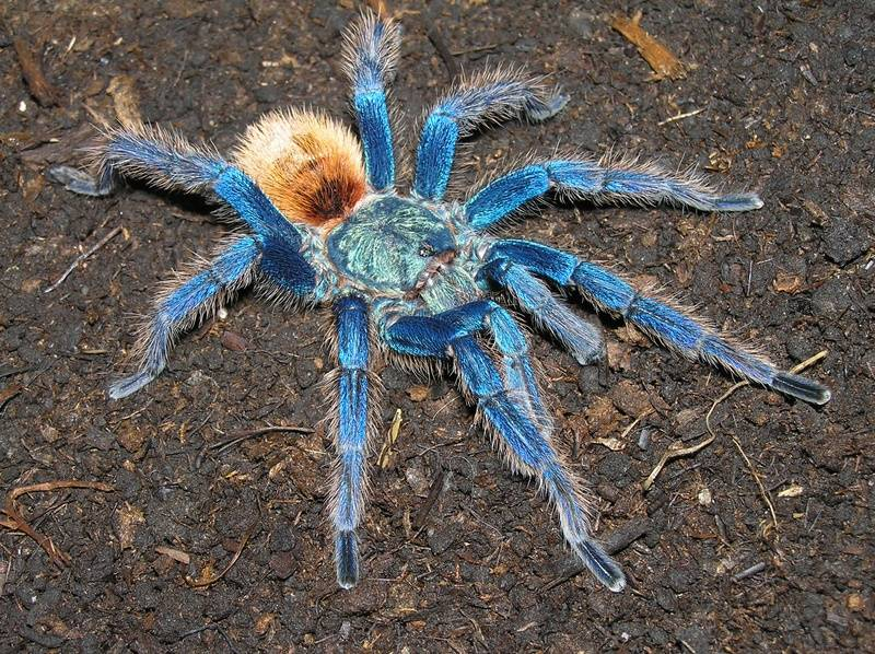 Птицеед сине-зеленый (лат. Chromatopelma cyaneopubescens)
