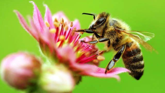Пчела на цветке фото