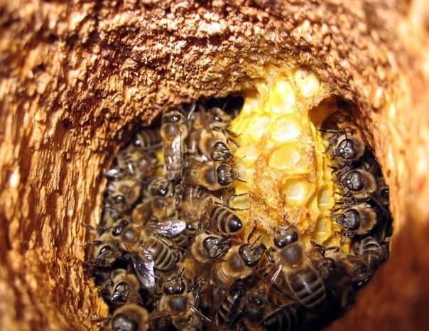 Пчелы в улье фото