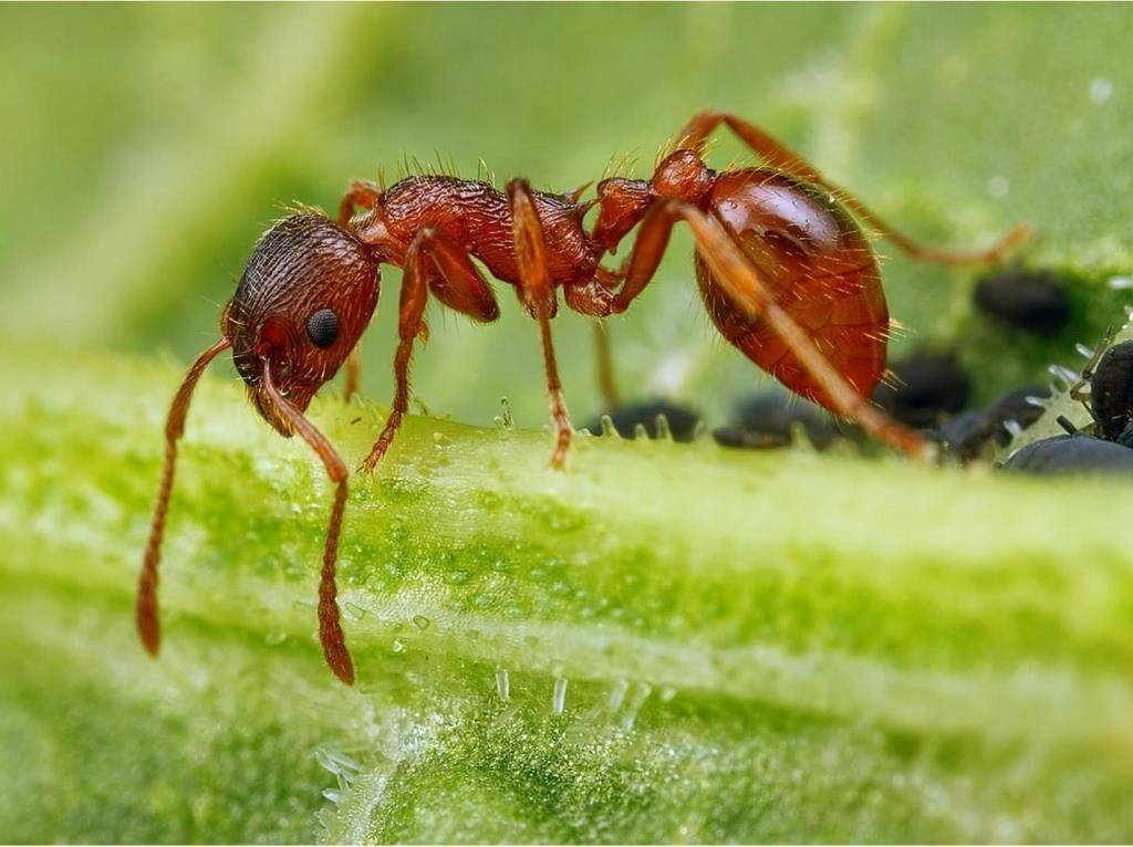 Рыжий муравей мирмика фото (лат. Myrmica rubra)