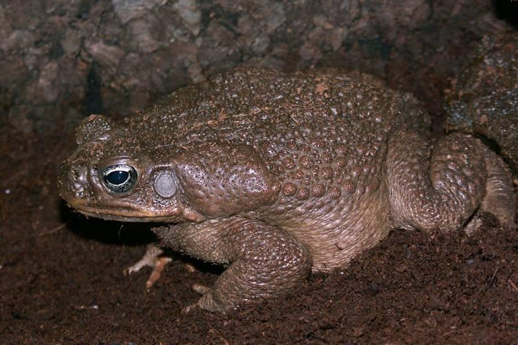 Жаба бломберга - вторая из самых крупных - ага